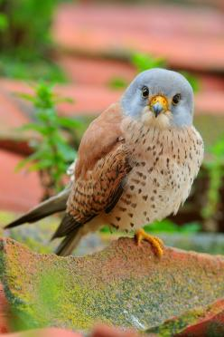 Lesser Kestrel by Carlos González Revelle: Animals, Nature, Birdie, González Revelle, Beautiful Birds, Beautifulbirds