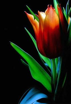 liquige:     orange tulip…. via Angela Clark-Grundy: Color, Orange Tulip, Beautiful Flowers, Red Tulip, Tulip Flowers, Photo, Pretty Flower, Garden, Favorite Flower