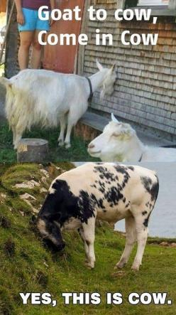 lol I laughed WAAAAY to hard at this!!!!!!!!!: Funny Animals, Goat Humor, Lol Funny, Laughing So Hard, Quit Laughing, Funny Animal Pictures, Funny Animal Pics, Laughed Waaaay, Goats Duh