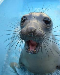 long whiskers and a big hello!: Seals, Face, Animals, Creature, Sea Lion, Happy, Funny, Smile, Baby Seal