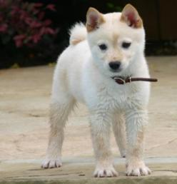 Looks like beautiful Kimira, mis my baby girl.: Animals, Dogs, Pets, Shiba Inus, Adorable, White Shiba, Shibainu