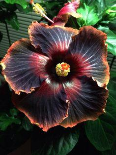 love the fire-shades in this flower. Hibiscus 'Black Rainbow': Rainbows, Rainbow Hibiscus, Hibiscus Flower, Beautiful Flowers, Garden, Hibiscus Black