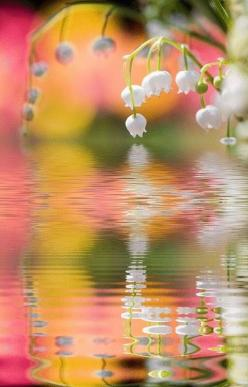 <3<3 lovely flowers over a pond: Reflection, Nature, Color, Lilies, Beautiful, Art, Flowers, Garden, Spring