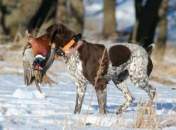 LX #hunting #dogs #1816 #remington http://www.wingshootingdestinations.com/upload/editor/Picture%2030.png: Hunting Dogs, German Shorthaired Pointer, Duck Hunting, Gundog Hunting Dog, Cattle Hunting Dog, Pointer Hunting, Gsp, Pointer Duck