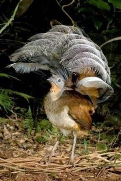 Lyre Bird are very poor fliers. They rarely fly so I have put them in the flightless category.: Car Alarms, Australian Birds, Beautiful Birds, Camera Shutters, Animal