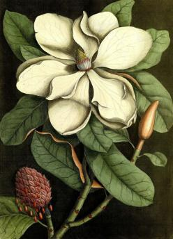 Magnolia illustration from Mark Catesby's The natural history of Carolina, Florida and the Bahama Islands, 1731-1743. inland delta: Art Botanicals, Natural History Illustration, 1731 1743, Botanica Fauna, Bahama Islands, Botanical Illustrations, Magnolia
