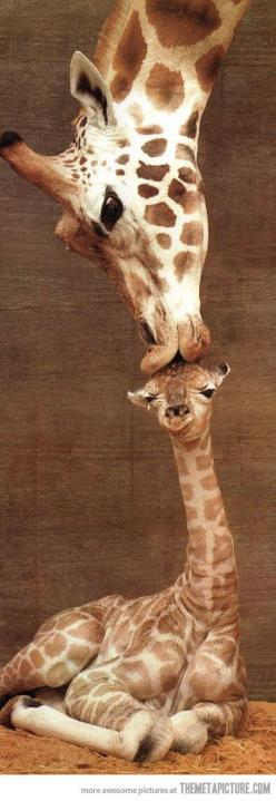 Mamma  kiss ..... THIS PIC SHOULD BE SENT TO THE ZOO THAT'S KILLING GIRAFFES: Picture, Giraffe Kiss, Animals, Mothers, Sweet, Giraffes