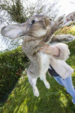 Measuring three feet and eight inches, he's on course to become the world's largest rabbit. | The Biggest Rabbit In The World Has A Son Who's Going To Be Even Bigger: Bunnies Soft, Waskally Wabbits, Animals Dogs, Biggest Animals, Bunny Wabbits, Soft B