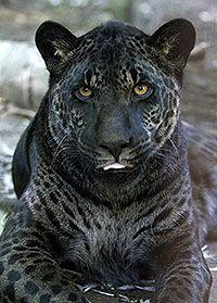 Melanistic jaguar - Melanism is an overabundance of black pigment in animals and is actually the opposite of albinism and even more rare.: Wild Cat, Animals, Big Cats, Bigcats, Jaguar Father