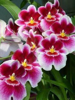 Miltoniopsis, The Pansy Orchid: The excitement is indescribable in the flow of Nature! http://rockbottom.ownanewbusiness.com: Miltoniopsis Orchid, Orchid, Pansy Orchids, Beautiful Flowers, Flowers Orchids, Pansies, Flowers, Garden