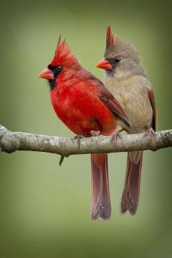 Mr. And Mrs. Northern Cardinal   They remind me of my parents!  They loved cardinals and would feed them all year long!: Redbird, Female Cardinal, Beautiful Birds, Cardinals, Animal