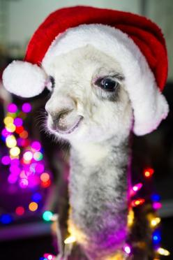 Mr. Llama trying to get in the Christmas spirit, for Sara: Christmas Critters, Llamas Alpacas, Christmas Spirit, Christmas Card, Christmas Animal, Photo, Christmas Llama, Merry Christmas