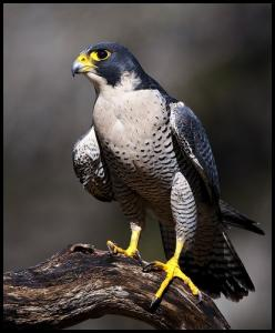 My favorite avian inspiration - Peregrine Falcon: Bop, Inspiration Peregrine, Peregrine Falcons, Peregrin Falcon, Peregrine Ferrari, Birds, Photo, Fiery Falcons