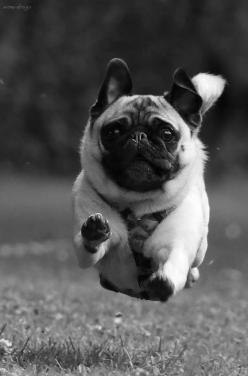 ❦ myarcticexplorer                                                                                                                            ...: Hover Pug, Animals, Dogs, Pug Life, Pet, Flying Pug, Pugs