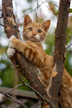 No, I will not come down so you have to call one of those nice firemen to come up and get me down: Jacob Joz, Kitty Cats, Animals, Orange Cat, Orange Tabby Cat, Kitty Kitty, Kittens