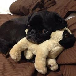 No thanks.  I don't need a walk.  I'll just stay right here.: Stuffed Animals, Dogs, Pug Life, Pets, Pug Love, Black Pug, Puppy, Pugs Pugs, Baby