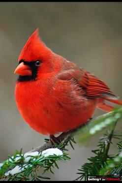 Norther Cardinal male beauty: Animals, Redbird, Beautiful Birds, Cardinals