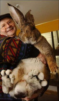 Oh boy! Herman, the world's biggest bunny!: Animals, Giant Rabbit, Pet, Giant Bunny, Bunnies, Easter Bunny, Flemish Giant