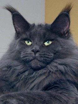 OH GOD.  I CAN'T DECIDE BETWEEN HIM AND JEREMY RENNER NOW.   THIS CAT IS F'G GORGEOUS!!!!!!!!!!!!!!: Maine Coons, Beautiful Cat, Animals, Pets, Kitty Kitty, Coon Cats, Kitties, Blue Maine, Mainecoon