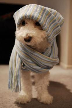 oh goodness#Repin By:Pinterest++ for iPad#: Doggie, Animals, Dogs, Sweet, Pets, Puppy, Scarf