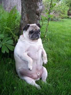 Oh my goodness too many twinkies for this guy! See now you know why people always comment in how healthy Kirbs and bogey look lol: Fat Pugs, Lawn Ornaments, Dogs, Sitting, Funny Pugs, Pet