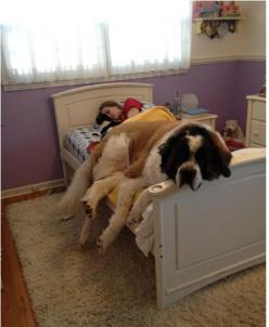 Oh this is too funny and so true for most dog lovers.  St. Bernard's: Animals, Beds, St Bernard, Pets, Funny, Saint Bernard, Puppy, Big Dogs, Friend