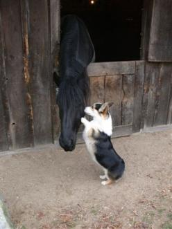 OK, here's the plan.......: Corgis, Animals, Friends, Children, Horses Dogs, Horses And Dogs, Photo