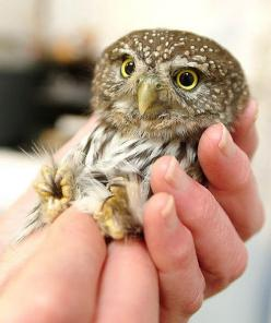 OMG. Baby owls blow my mind. Like baby bats....or tigers....or hedgehogs. Pretty much anything in it's tiny baby form.: Babies, Little Owls, Animals, Baby Owls, Things, Photo, Birds, Babyowl, Hoot