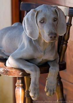One of my favourite dogs. I used to walk a weimeraner with my next door neighbour when I was little, along with my best friend at the time (their great dane called Caesar): Dogs Weimaraners, Favourite Dog, Puppy, Baby, Cuteness Weimaraners