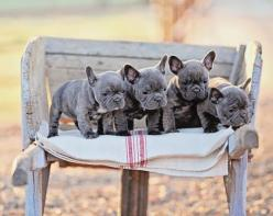 Ooooh! Four French Bulldogs sitting in a row, one called Jack and the other called Mo! :)  Limited Edition French Bulldog Tee http://teespring.com/lovefrenchbulldogs: Blue Frenchie, French Bulldogs Blue, Puppy, Blue French Bulldogs, Pets Frenchbulldogs, B