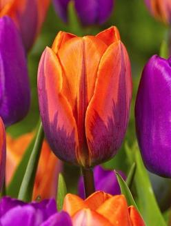 Orange and Hot Pink with a touch of Green tulip: Beautiful Tulip, Gorgeous Tulip, Irene Tulip, Color, Flowers, Garden, Pink Tulip, Favorite Flower