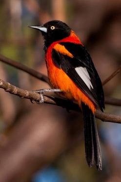 Orange-Backed Troupial is a species of bird in the Icteridae family. It is found in Guyana, Brazil, Paraguay, and eastern Ecuador, Bolivia, and Peru. Wikipedia: Animals, Nature, Poultry, Campo Troupial, Beautiful Birds, Photo