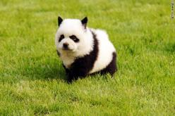 `Panda dog.  Really.  The latest craze in China is to dye your dog to look like a different animal. This is a chow puppy: Animals, Dogs, Panda Dog, Pet, Funny, Pandadog, Pandas