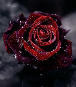 Passion Rose #roses, #flowers, #bestofpinterest, https://facebook.com/apps/application.php?id=106186096099420: Black Rose, Nature, Beautiful, Art, Red Roses, Things, Flowers, Garden, Blue Roses