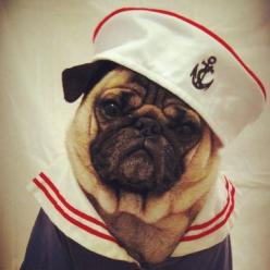 peaceful dog pugs in costumes pirate Wallpaper http://stepgallery.com/peaceful-dog-pugs-in-costumes-pirate/: Ahoy Matey, Animals, Dogs, Pug Life, Pet, Costume, Pugs, Sailor Pug, Sailors