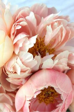 Peonies.... one of my favorites: Rose, Color, Wedding, Beautiful, Flowers, Garden, Pink Peonies, Floral, Favorite Flower