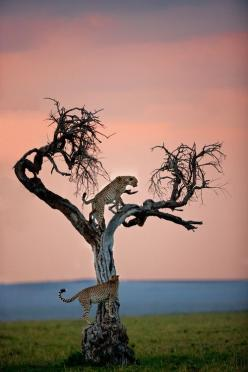 Perfect.................: Cheetahs, Wild, Big Cats, Animals, Nature, Bigcats, Beautiful, Trees, Photo