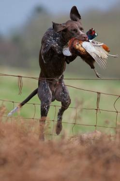 Pheasant retrieve. #Upland #Hunting #GSP #dog #1816 #remington: Hunting Dogs, Shorthaired Pointers, Shorthair Pointer, Gsps, German Shorthaired Pointer, Upland Hunting, Gsp S, Animal