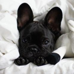Photo - Ella Oceans: Animals, Puppies, French Bulldogs, Black French Bulldog, Frenchbulldogs, Pets, Puppy, Box