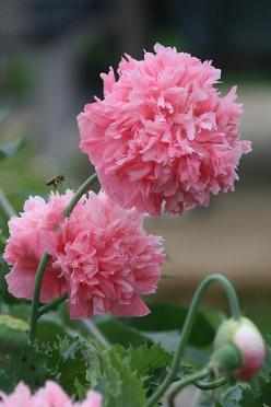 ✯ Pink Oh So Pink Poppy: Annual Flowers, Beautiful Flowers, Rose Landry, Pinkpoppies, Pink Poppies, Peonies, Peony Poppies