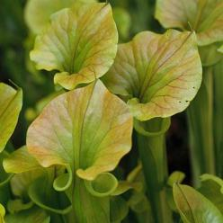 Pitcher Plants grow Pondside and are carnivorous, so it will help take care of insects: Eats Insects, Flowers Plants Garden, Pitcher Plants, Pond Plants, Carnivorous Plants, Landscaping Plants Water, Water Garden