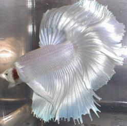 Platinum rose tailed half moon--how gorgeous is that? Love the iridescence! It looks like gossamer silk!: Rare Betta, Betta Splendens, Bett Fish, Pet, Aquarium, Beautiful Betta, Betta Fish, Animal