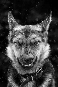 PLEASE CHECK OUT MY OTHER BOARDS LIKE COOL STUFF AND OTHER DOG BREEDS: Animals, Dogs, Creature, B W Photos, Grrr, Mind, Smile, German Shepherd