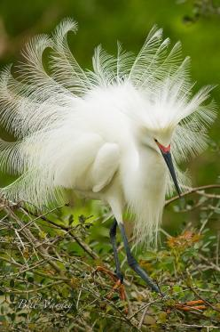 ~~Plumage ~ Great White Egret by Bill Varney~~: Photos, Poultry, Creatures, Bill Varney, Animals Birds, Beautiful Birds, Egret