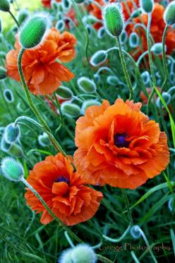 Poppies by johnny gregg  beautiful!: Color, Beautiful Flowers, Orange Flowers, Orange Poppies, Pretty Poppies, Garden, Flower