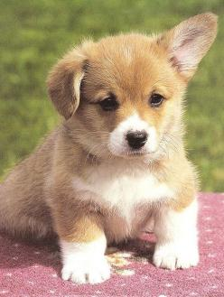 precious corgi.: Corgis, Animals, Dogs, Pet, Corgi Puppies, Puppys, Corgi S, Corgipuppy