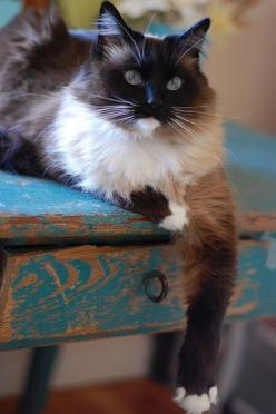 """Pretty Kitty. (fiction) Ragdoll cat. One of two cats Aubrie """"inherits"""" from her grandmother.: Beautiful Kitty, Kitty Cats, Ragdoll Cats, Kitten, Beautiful Cats, Pretty Cat, Kitty Kitty, Animal"""