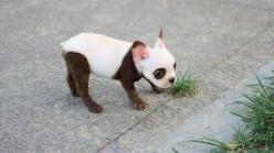Pretty sure there is no way this is not a dye job on a French Bulldog puppy, but I'm still obsessed.: Animals, Panda Puppy, French Bulldogs, Panda Dog, Pets, Puppys, Puppy, Pandas