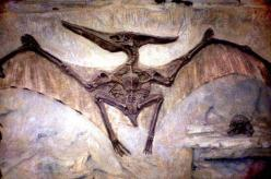 Pterodactyl fossil. Have you ever really wondered in what way an extinct animal or bird is a proof of evolution? What about those who didn't go extinct and still roam the Earth today essentially unchanged?: Animals Extinct, Flying Reptile, Extinct Ani