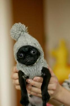 #pug #dogs #gifts @ https://www.etsy.com/shop/BZFingers | Tiny dogs in tiny sweaters: Cutest Pug, Animals, Pug Puppies, Dogs, Black Pugs, Puppy, Tiny Dog